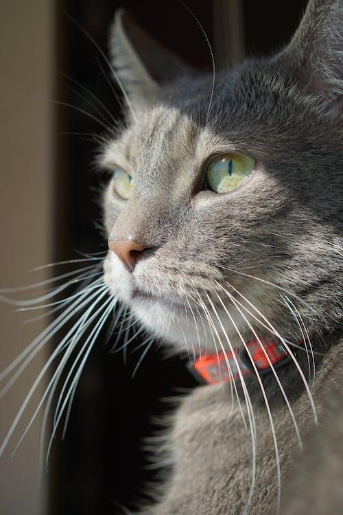 Γάτα, γκρι, γκρίζο