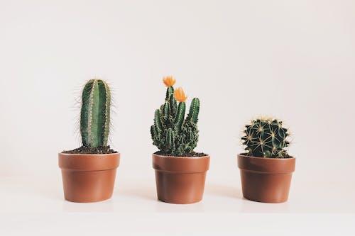 Ilmainen kuvapankkikuva tunnisteilla huonekasvit, kaktuksenkukka, kaktukset, kaktus