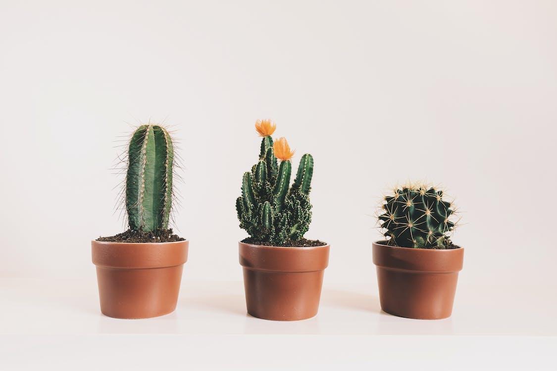 Trois Plantes De Cactus En Pot