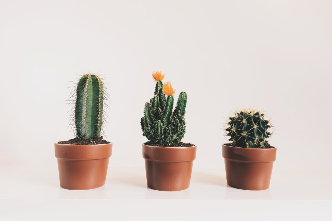 inomhus växter, kaktus, kaktusar