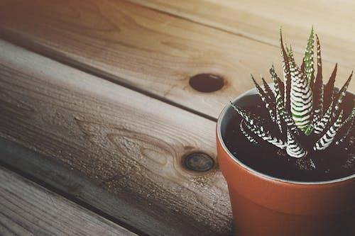 Fotobanka sbezplatnými fotkami na tému črepník, črepníková rastlina, dekor, drevený povrch