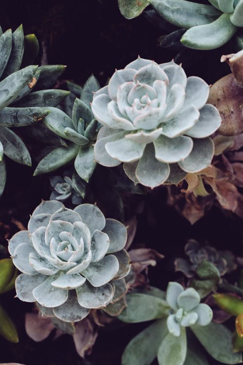 Close-Up Photo Succulent Plant