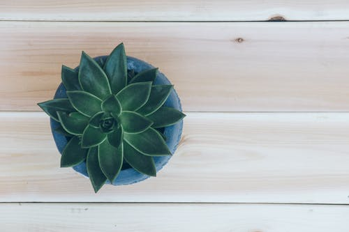 Top View Photo of Succulent Plant on Blue Pot