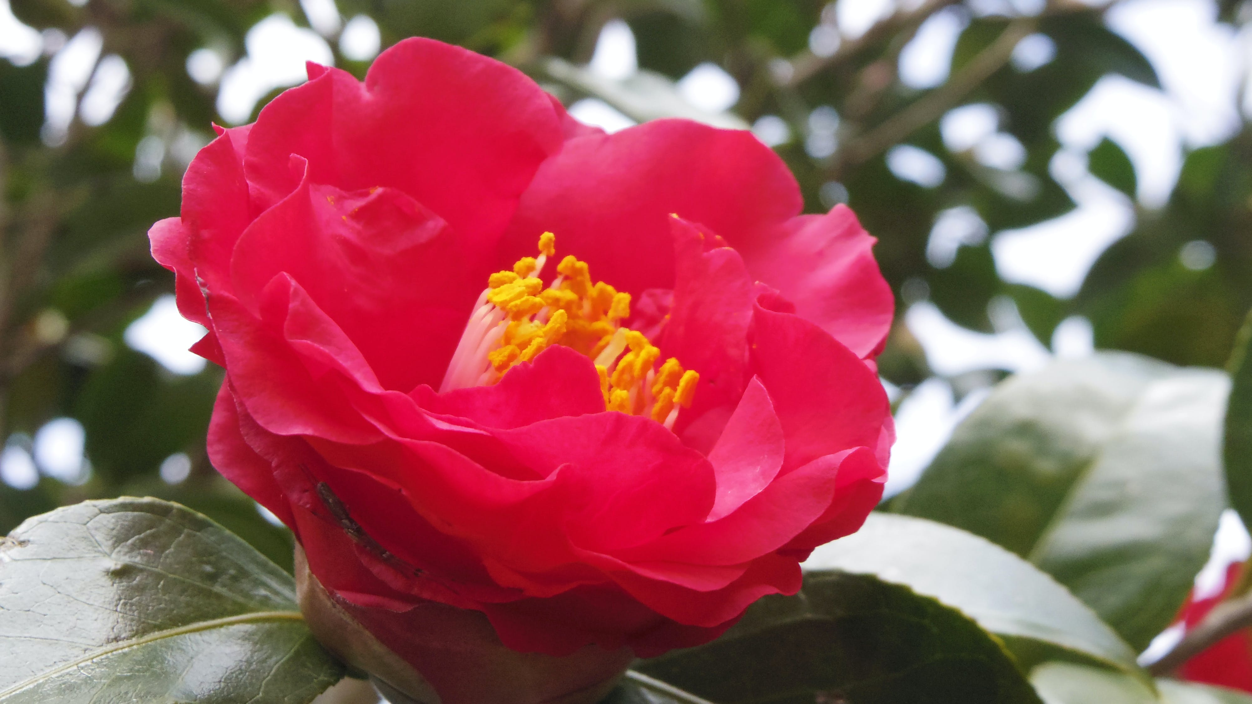 Free stock photo of camellia, gold, red