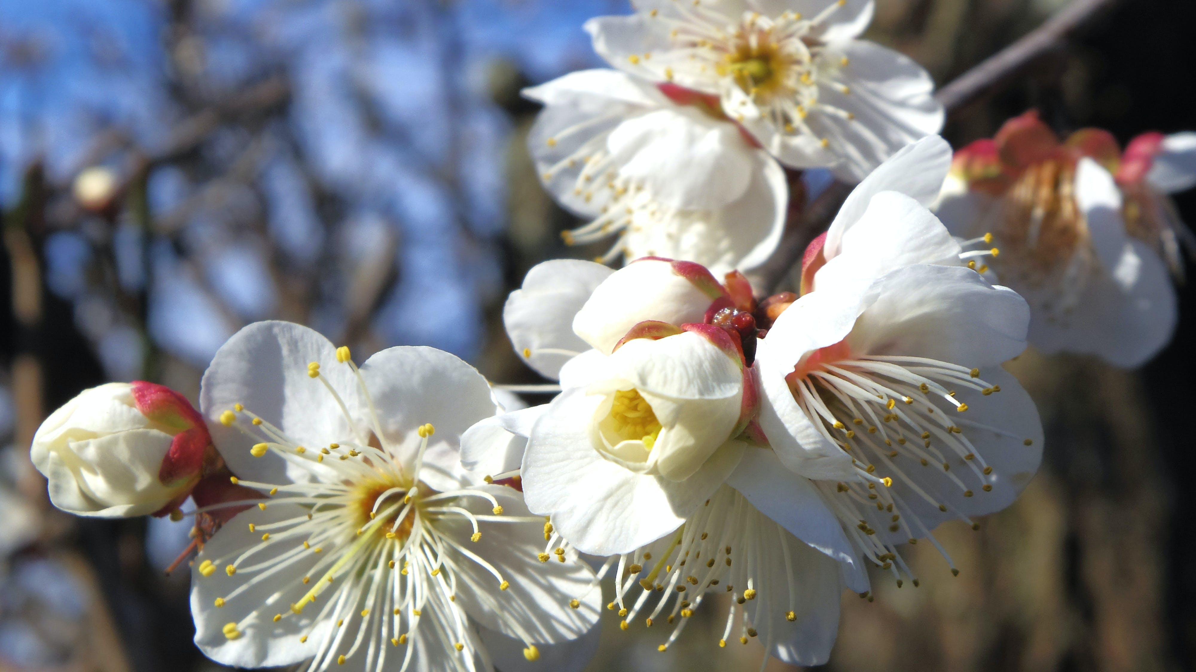 Free stock photo of blossoms, plum, white