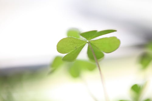 Free stock photo of green, nature, Oxalis, shamrock