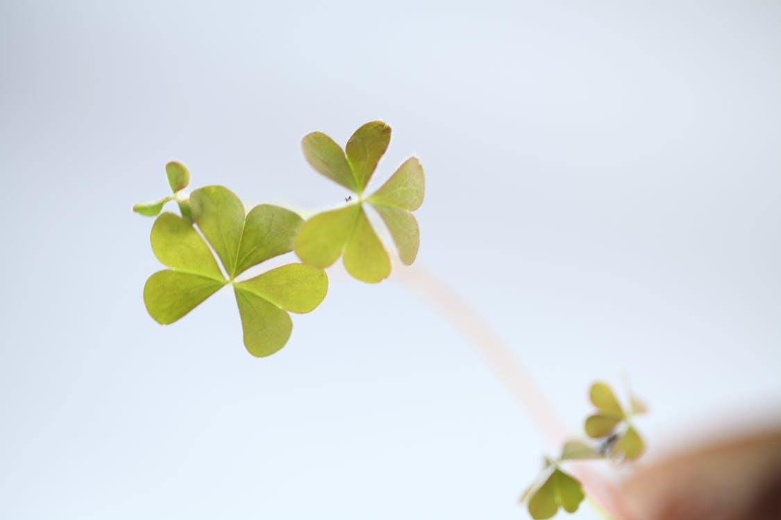Kostenloses Stock Foto zu grün, kleeblatt, natur