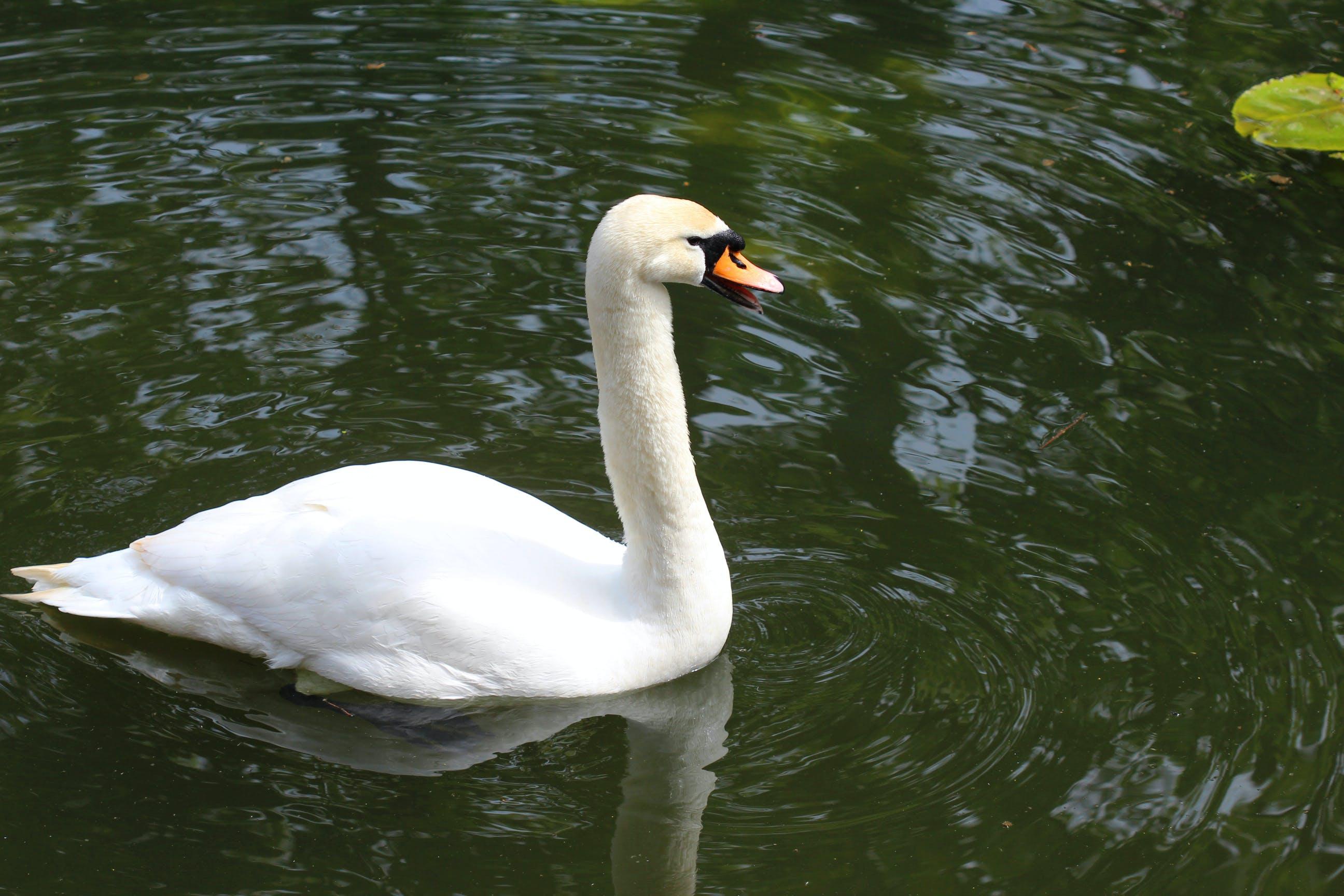 Free stock photo of bird, lake, swan, water
