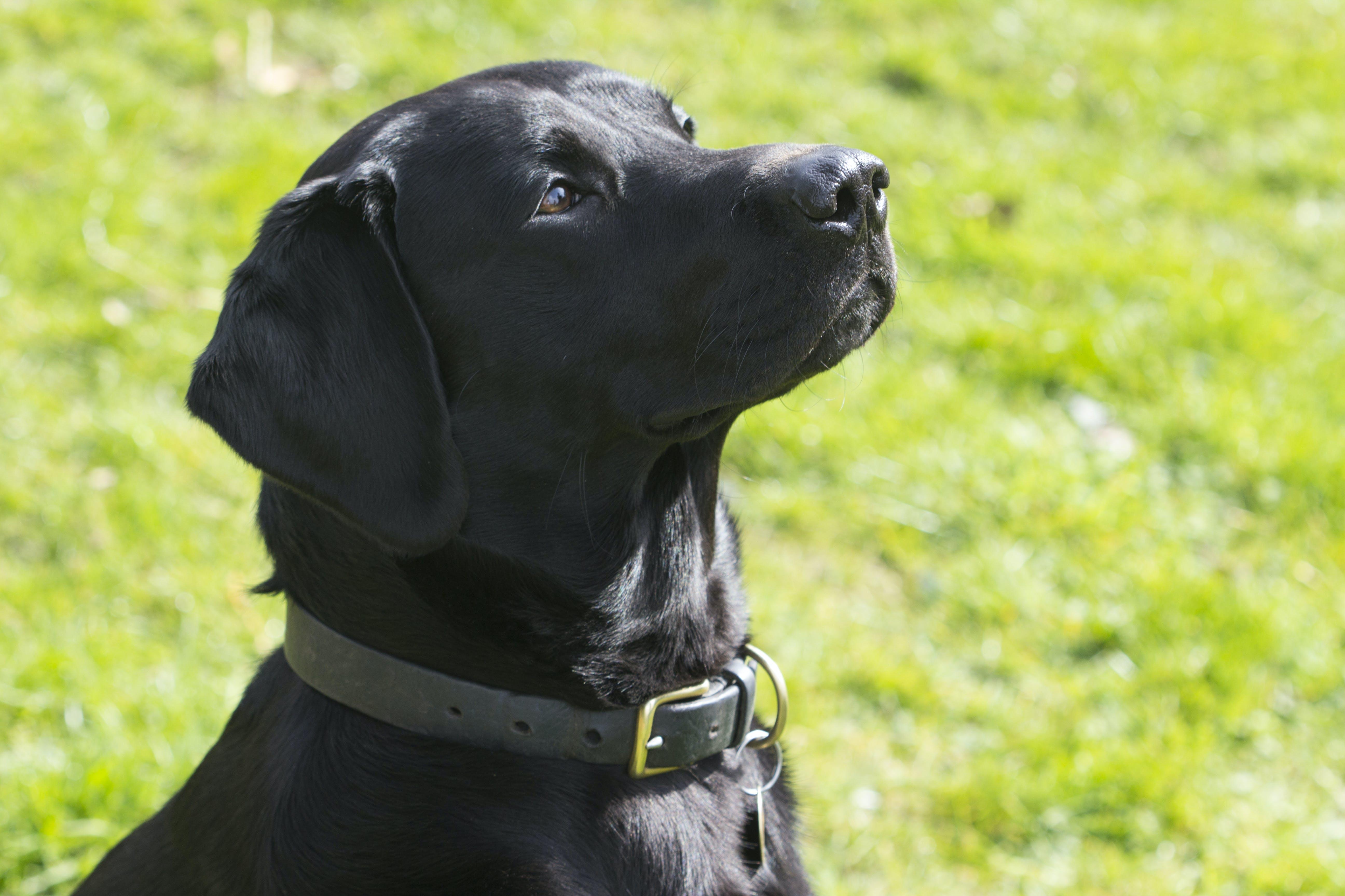 Free stock photo of black, dog, field, labrador