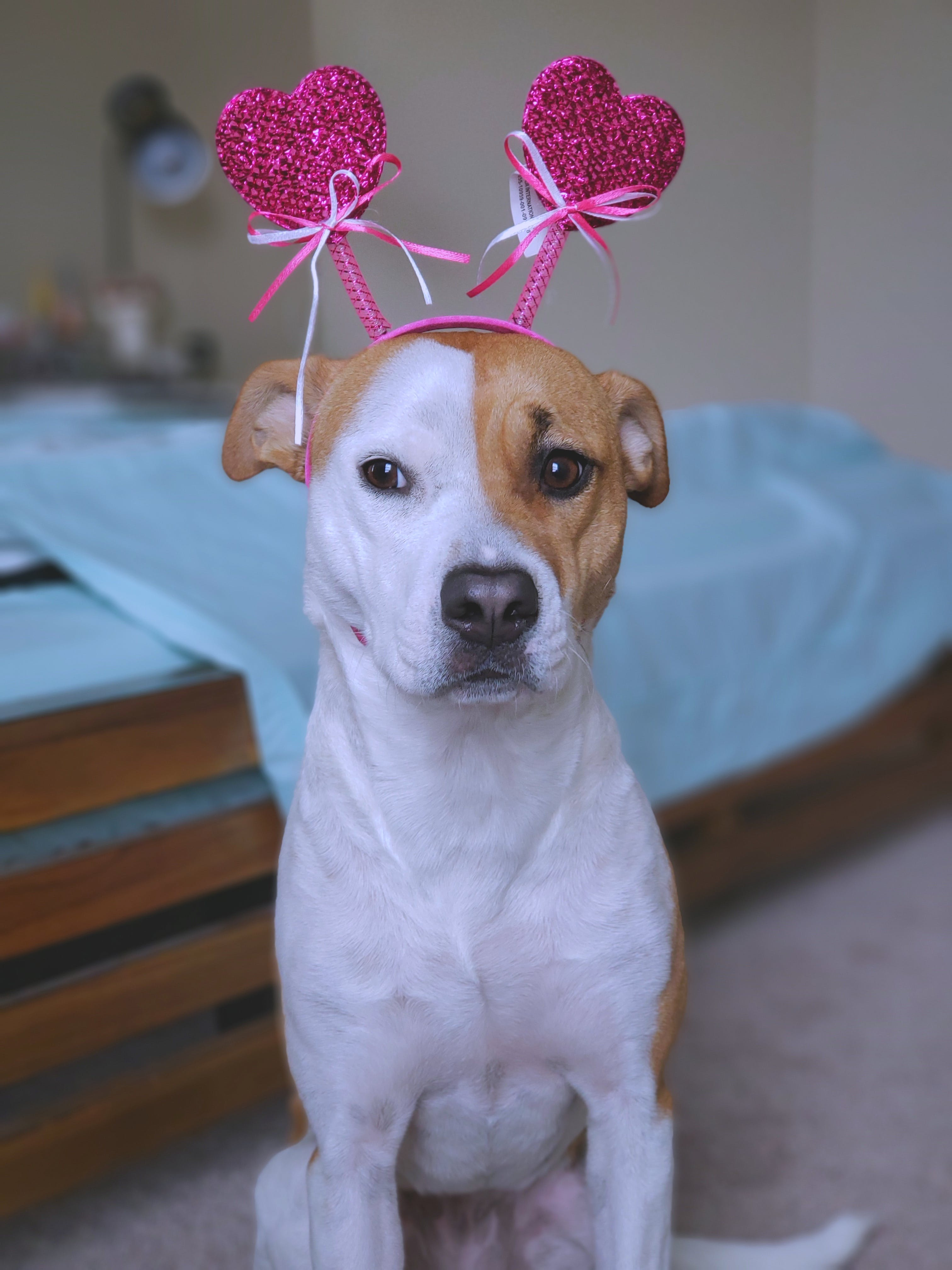 Free stock photo of dog, dogs, happy valentines day, Mutt