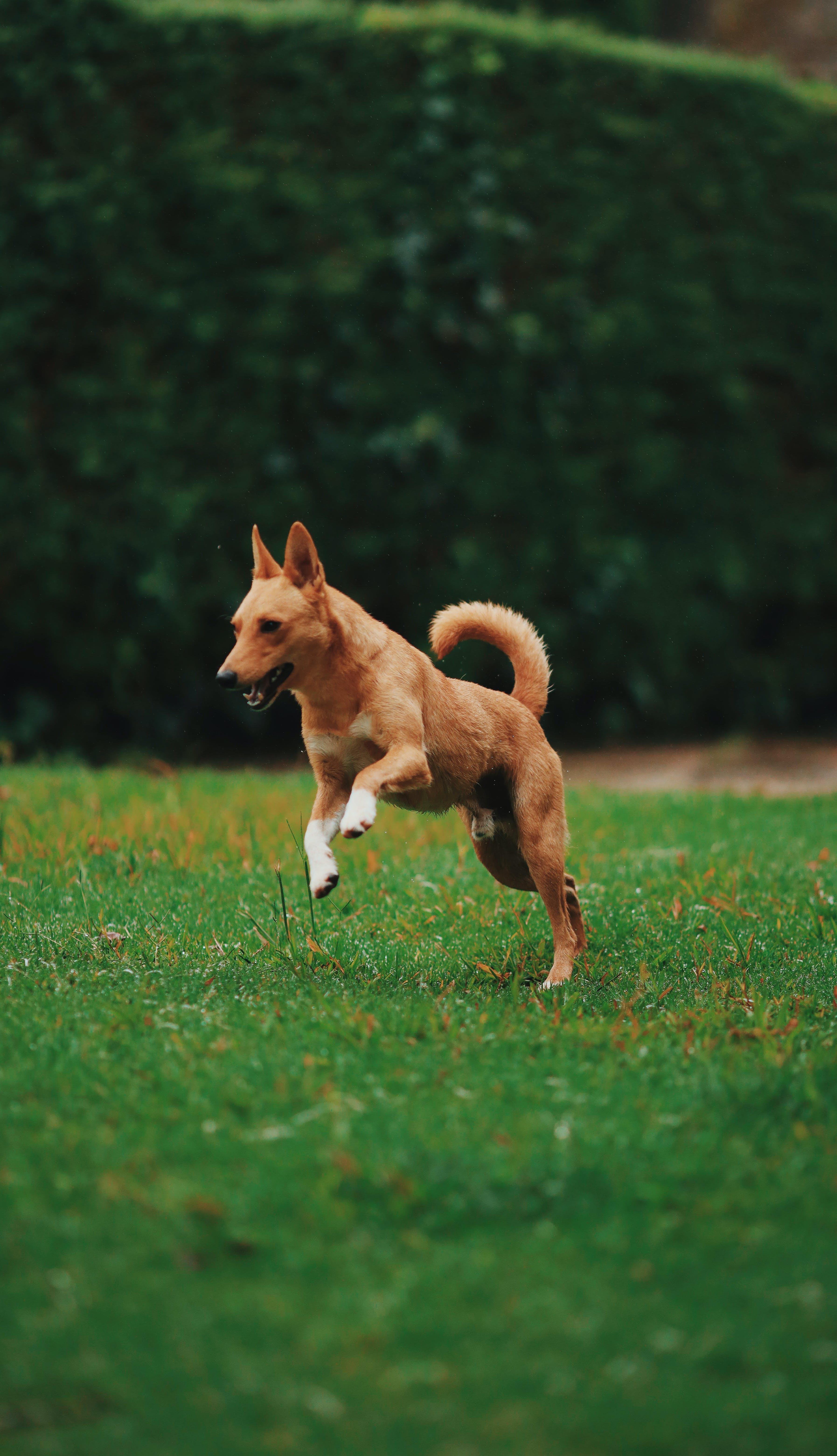Brown Dog Running on Grassy Field