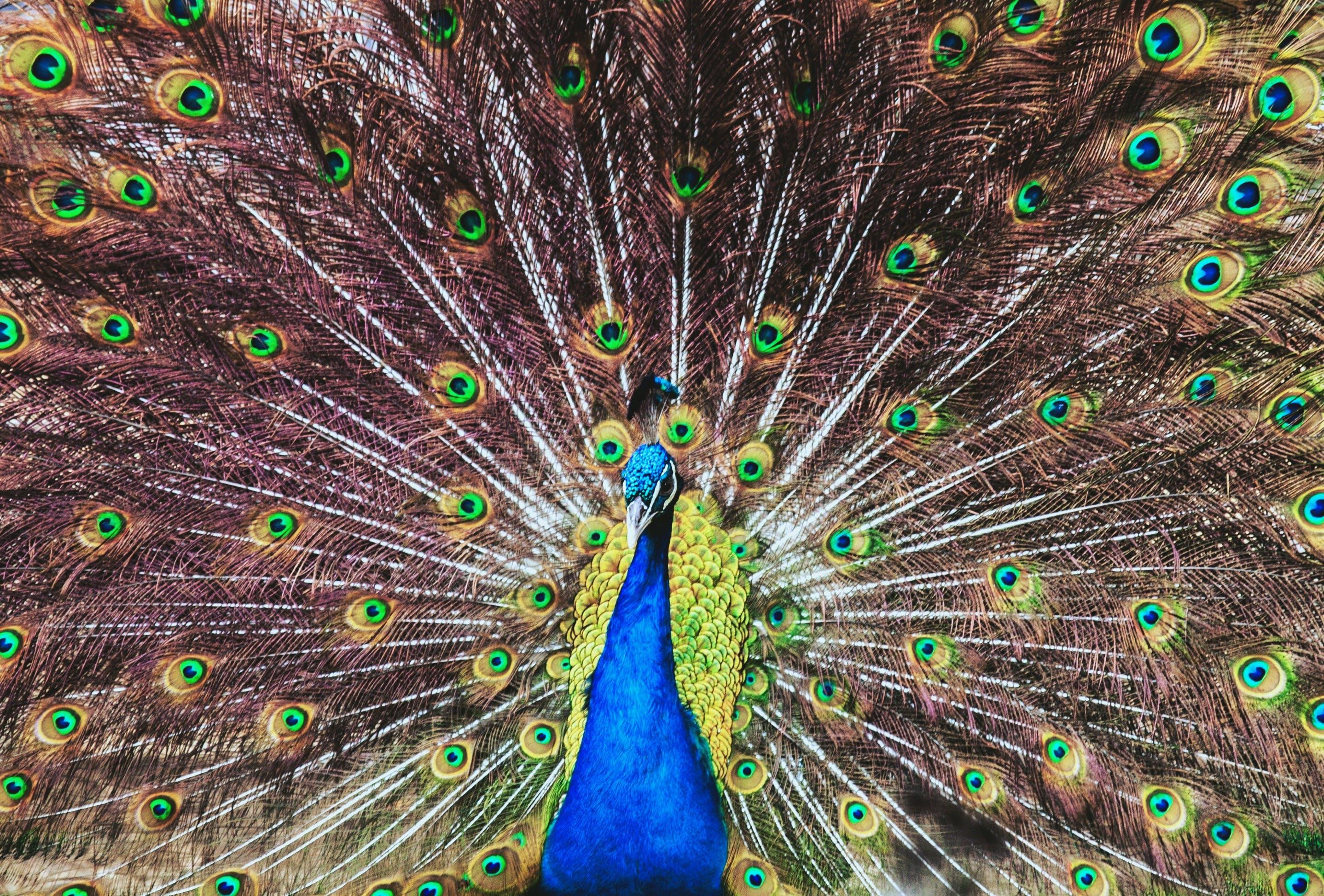 Free stock photo of animal, beautiful, bird, peacock