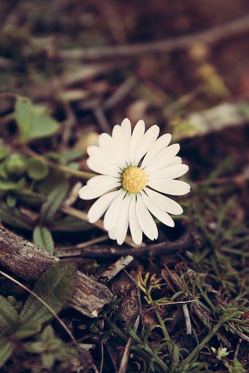 Imagine de stoc gratuită din bem-me-quer, floare, leucanthemum vulgare, malmequer