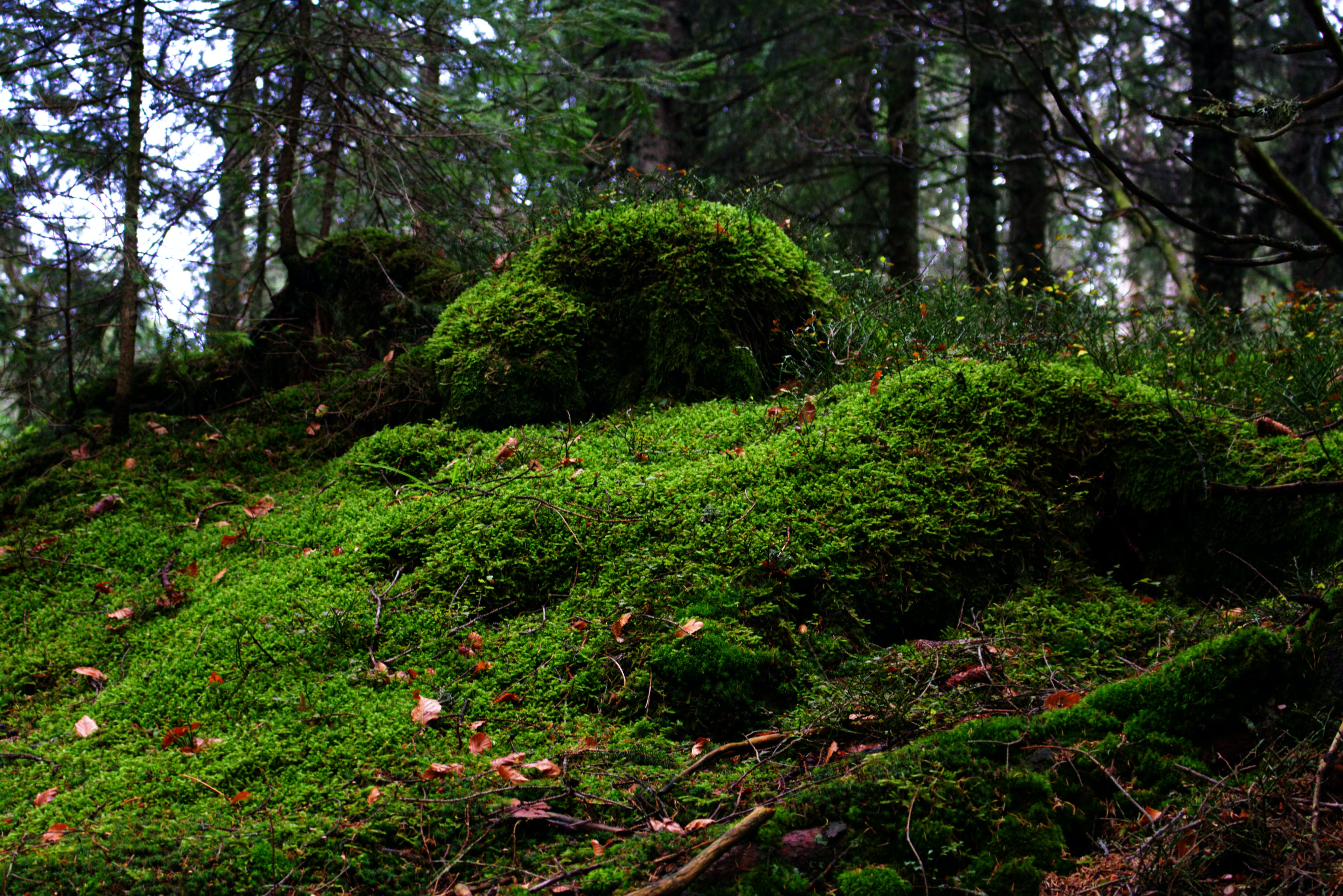 Free stock photo of dark green, forest cover