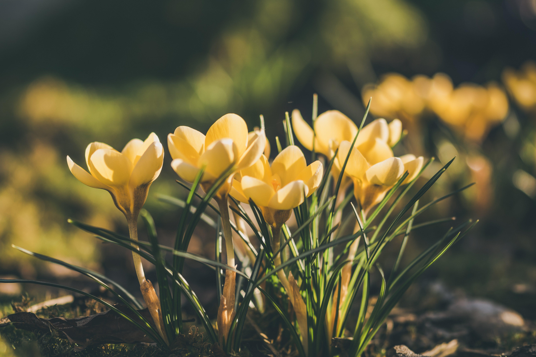 Free stock photo of crocus, flowers, garden, garden flower