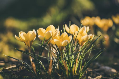 Kostnadsfri bild av blommor, delikat, flora, gula blommor