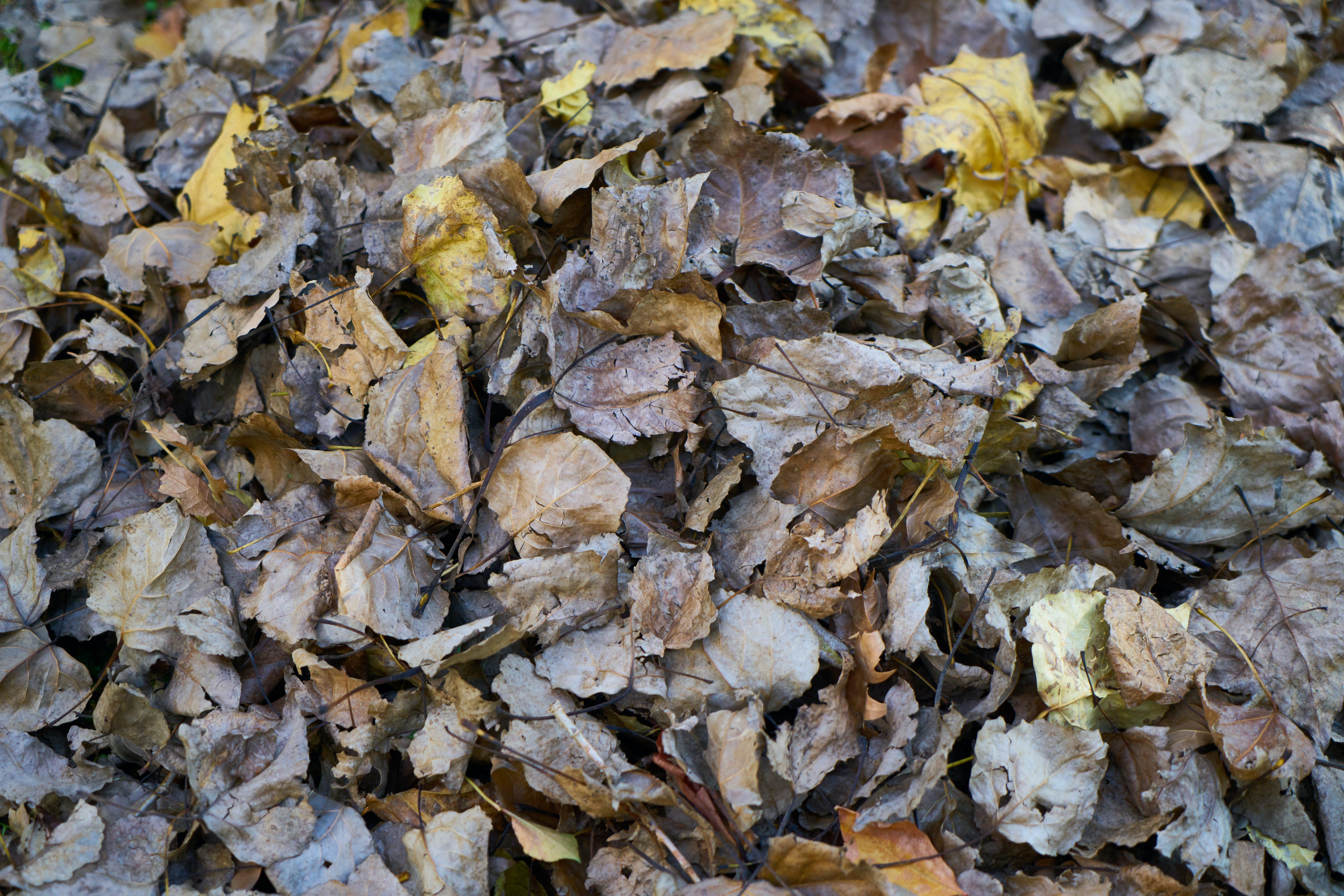Free stock photo of autumn, closeup, fall, leaf