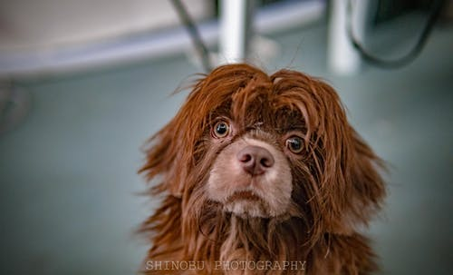 Základová fotografie zdarma na téma domácí pes, pes, shih-tzu, zvířecí portrét
