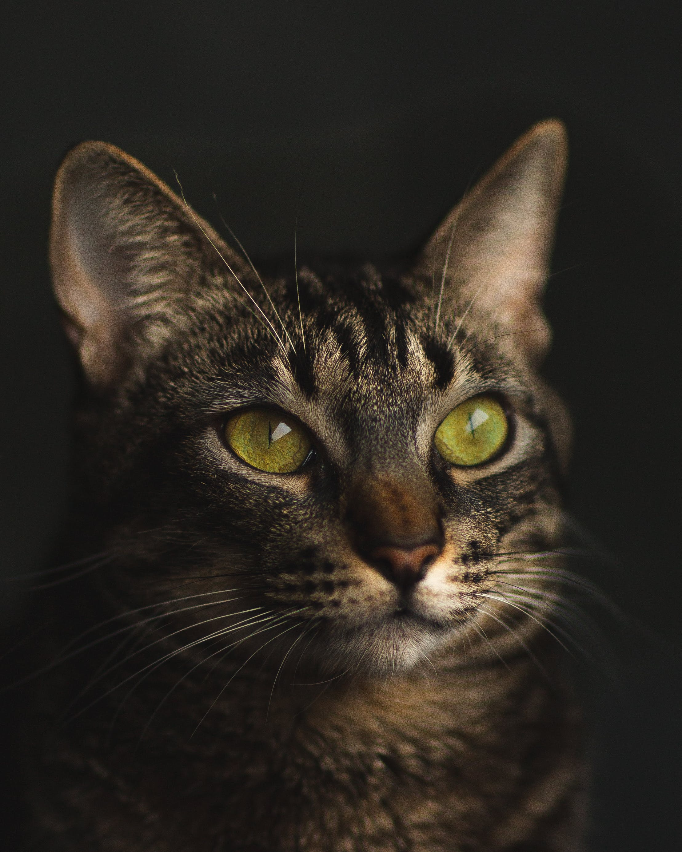 Short-fur Black and Gray Cat