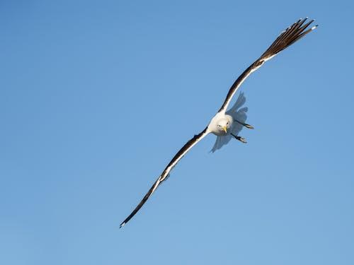 Бесплатное стоковое фото с белый, в полете, голубой, дикая природа