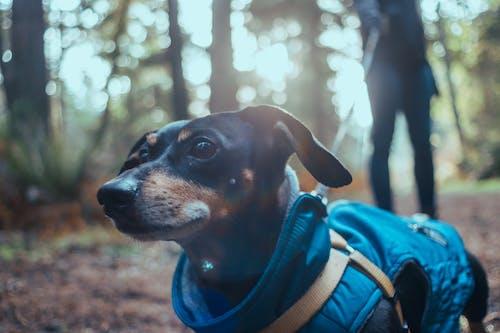 Gratis arkivbilde med biologi, dachshund, fysikk, gå tur med hund