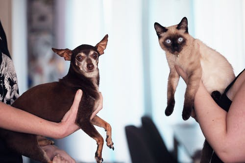 Person Holding Siamese Cat and Chihuahua