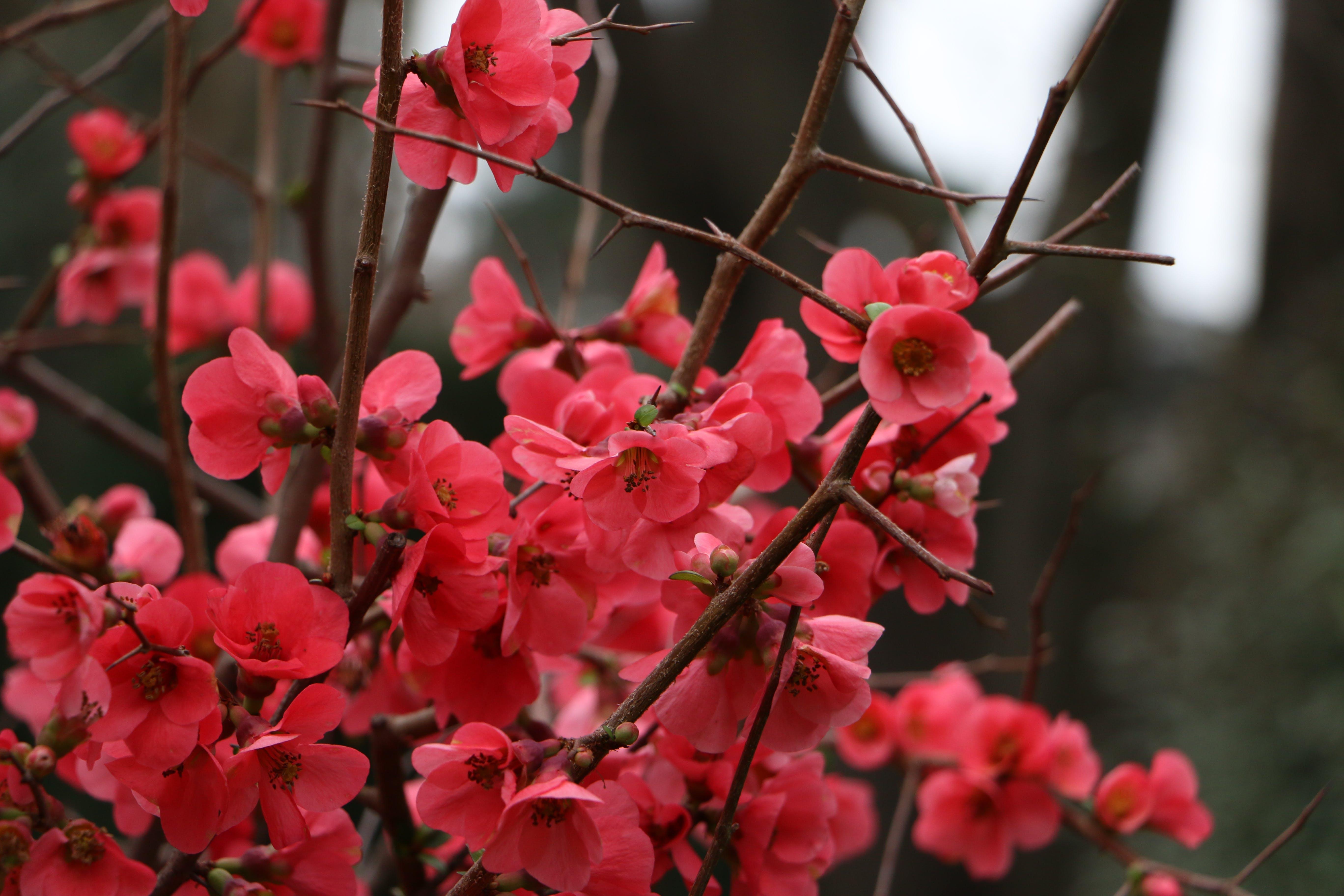 Free stock photo of bright, cherry blossom, flowers, stem