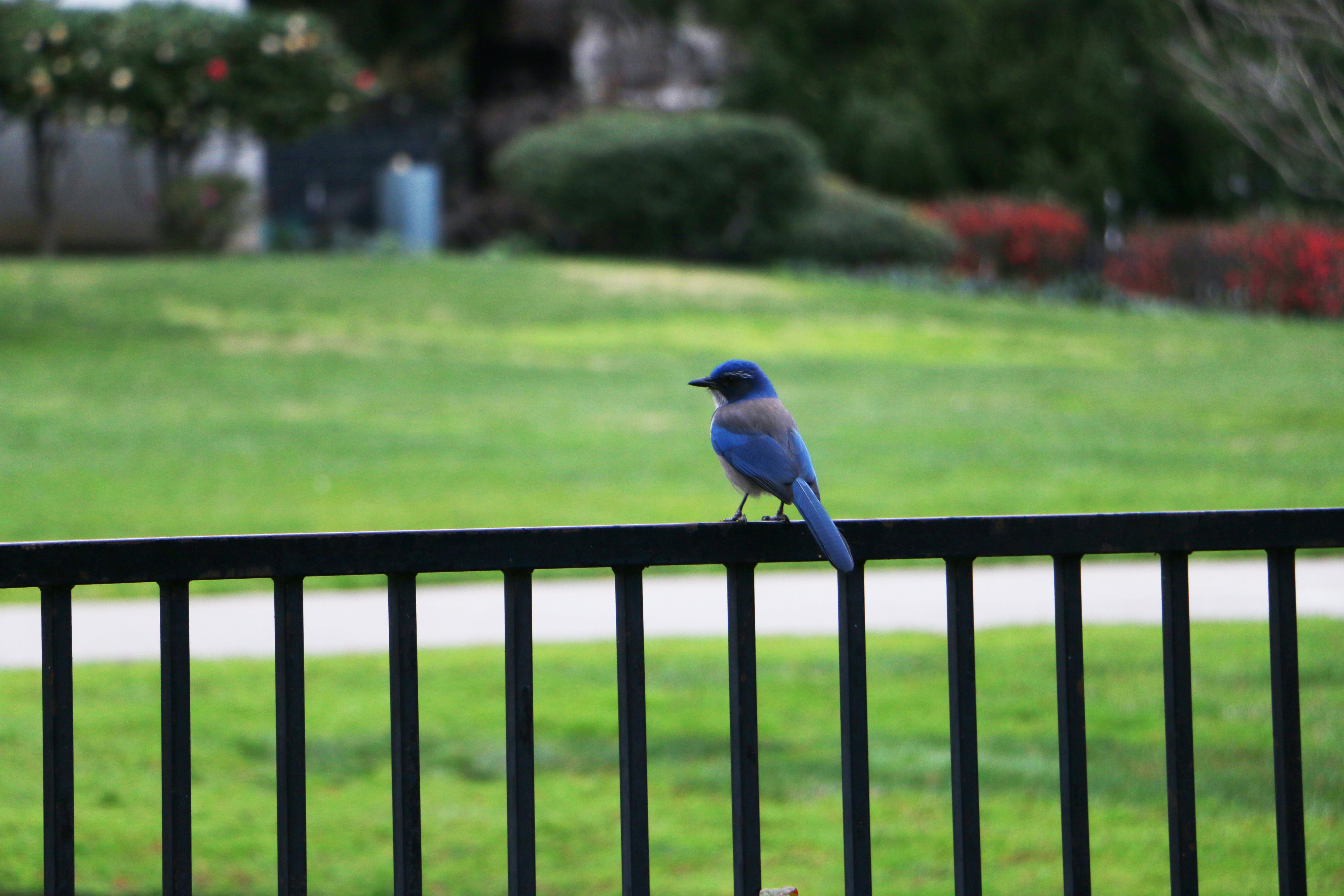 Free stock photo of animal, blue bird, scrubjay