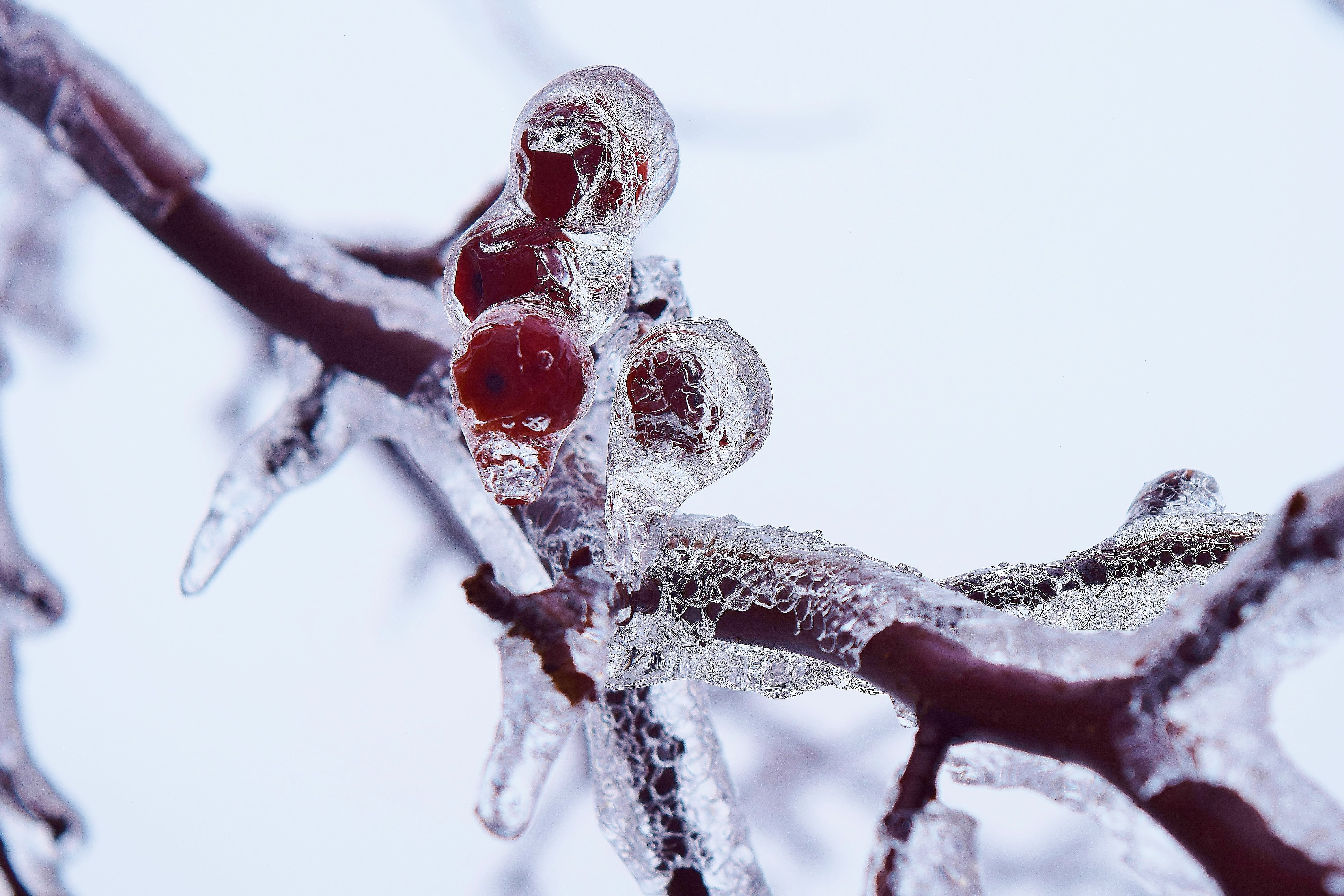 Free stock photo of icy branches, red berries, snow tree branches, winter branches