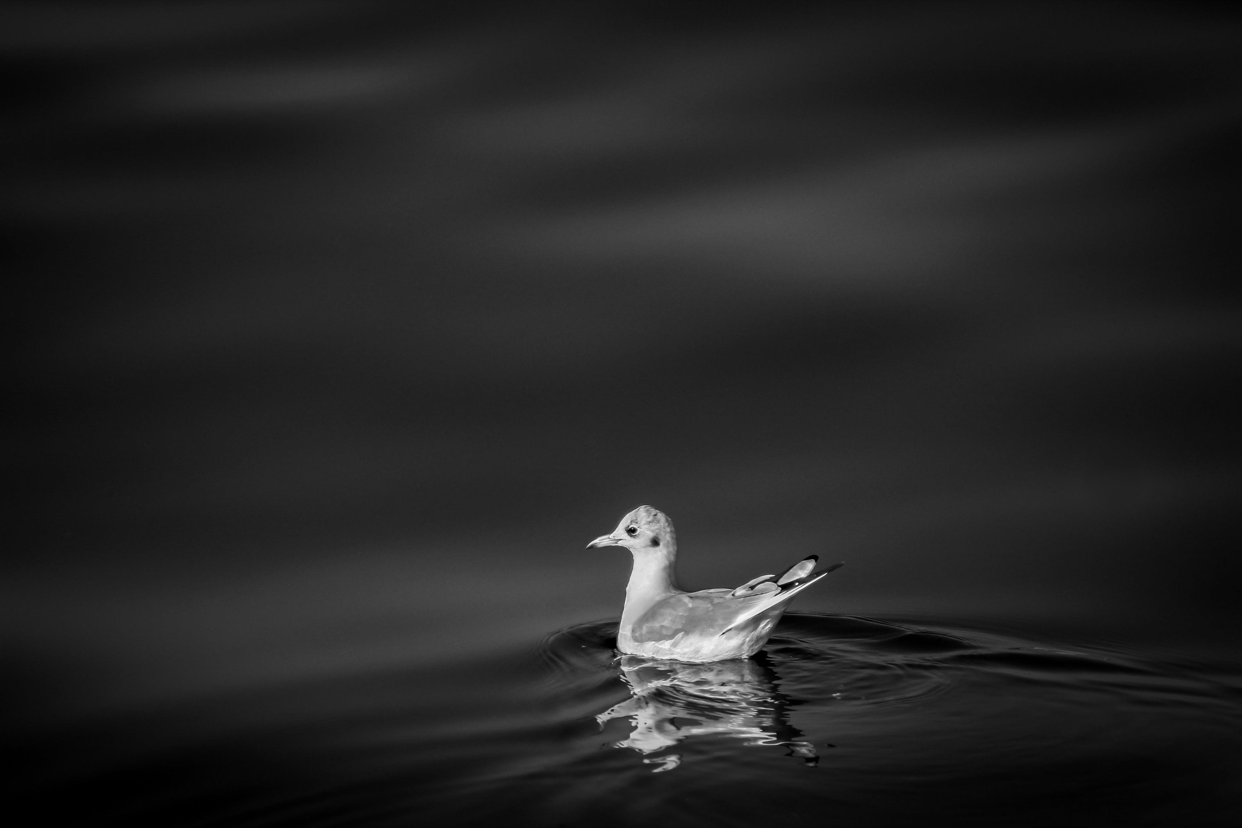 Free stock photo of bird, black&white, nature, river