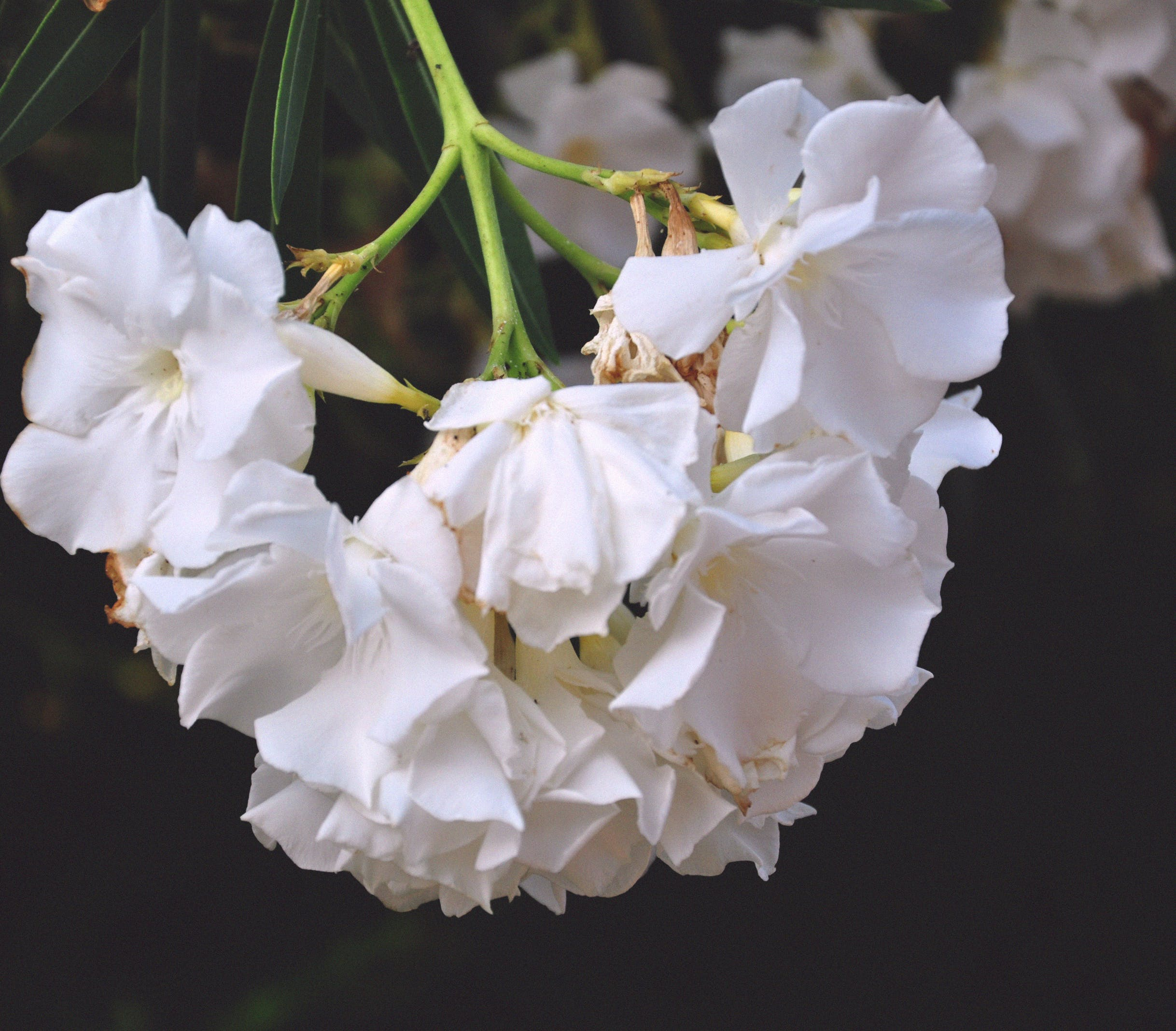 Free stock photo of branch, bunches of flowers, nature, pure
