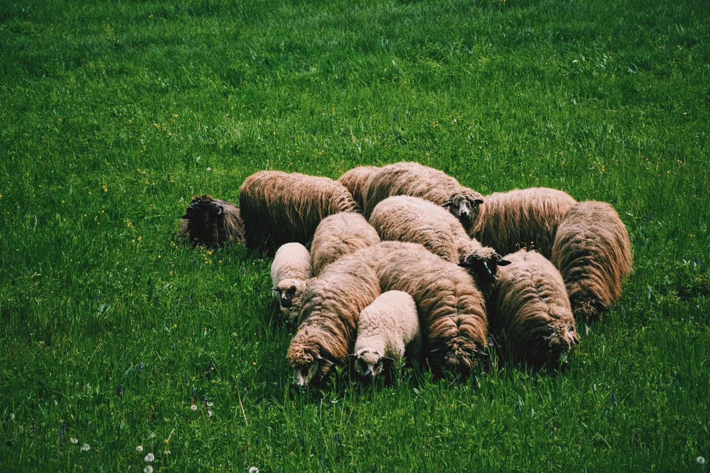 Flock of Sheep on Green Grass on Field at Daytime