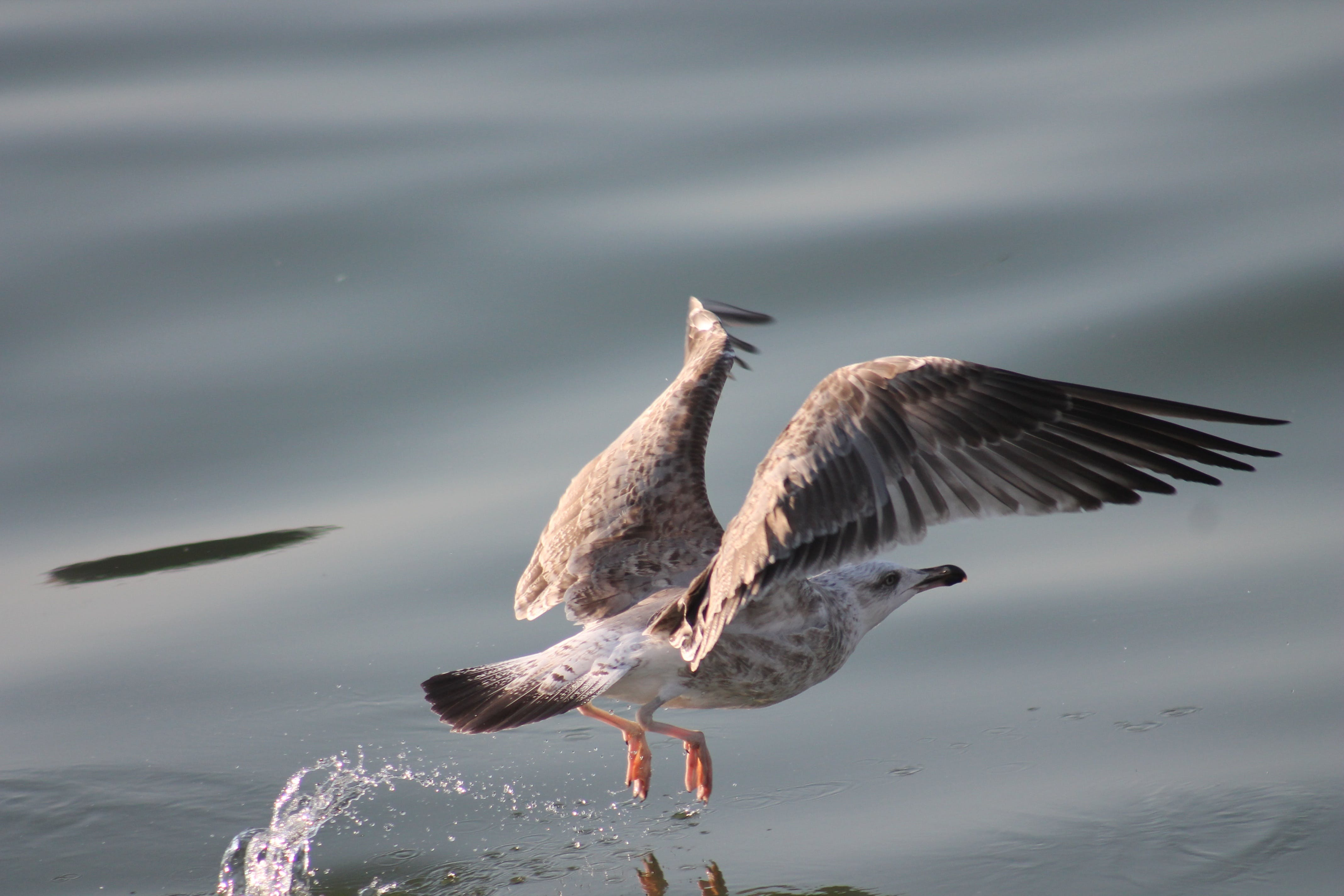 Selective Focus Photography of Gray Seagull Flying Above the Calm Body of Water