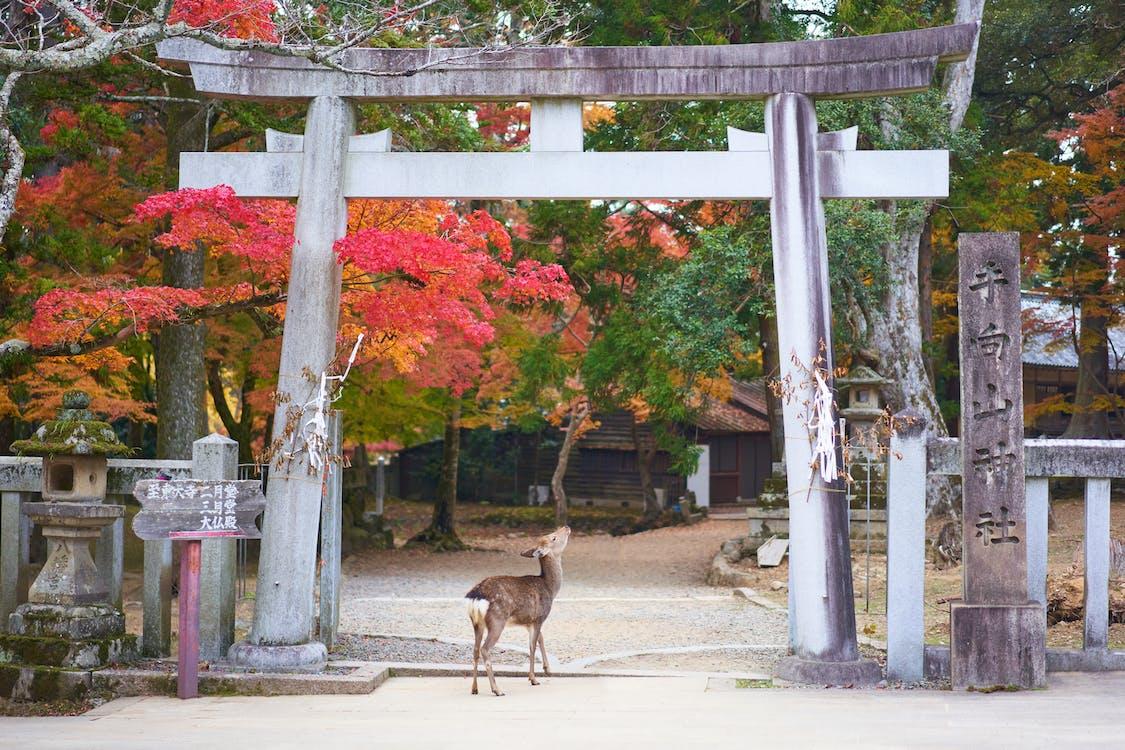 animal, Asia, ciervo