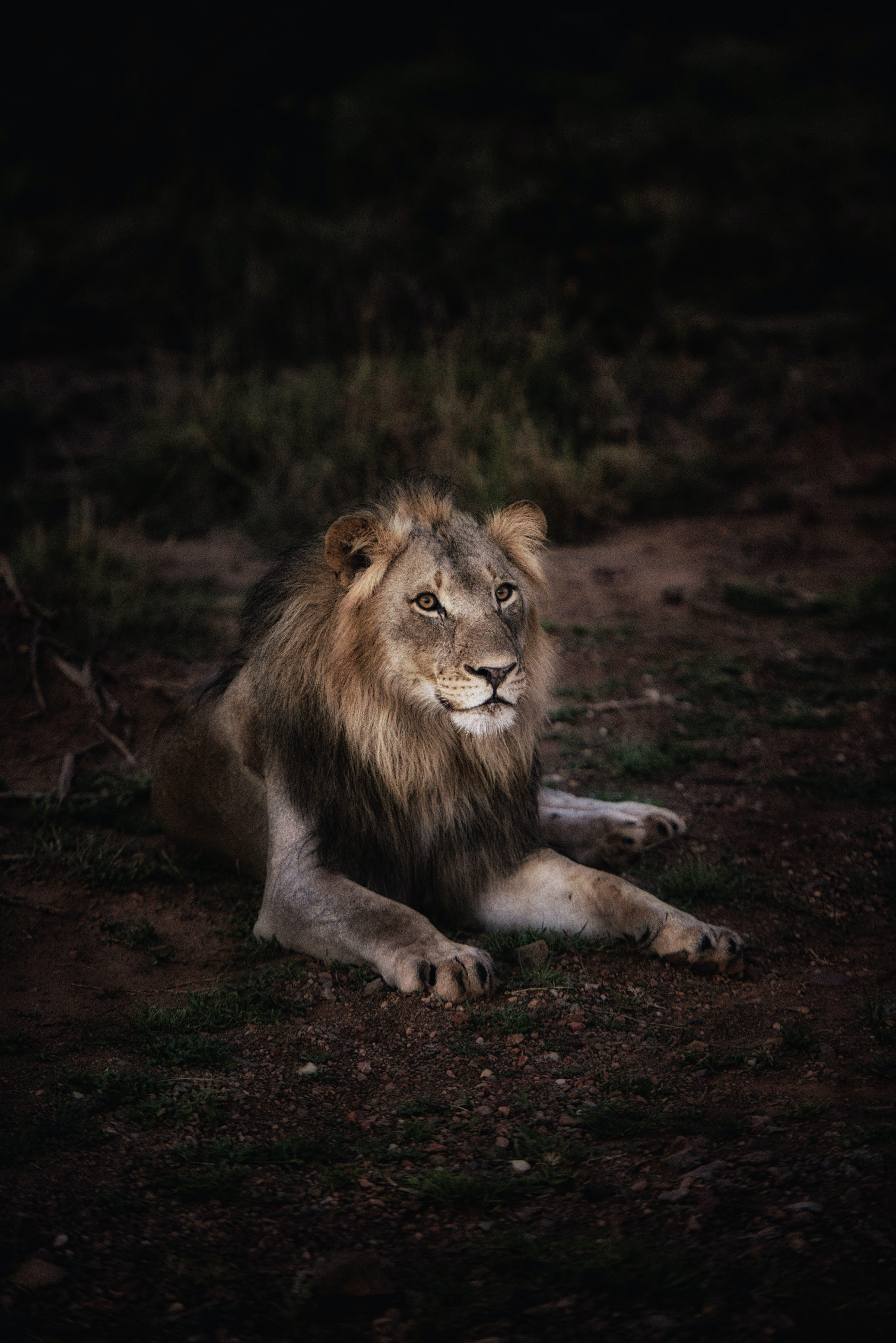 Photo of Lion Lying on Ground