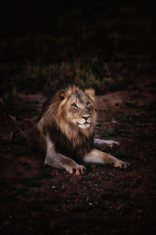 Photo of Lion Lying on Ground