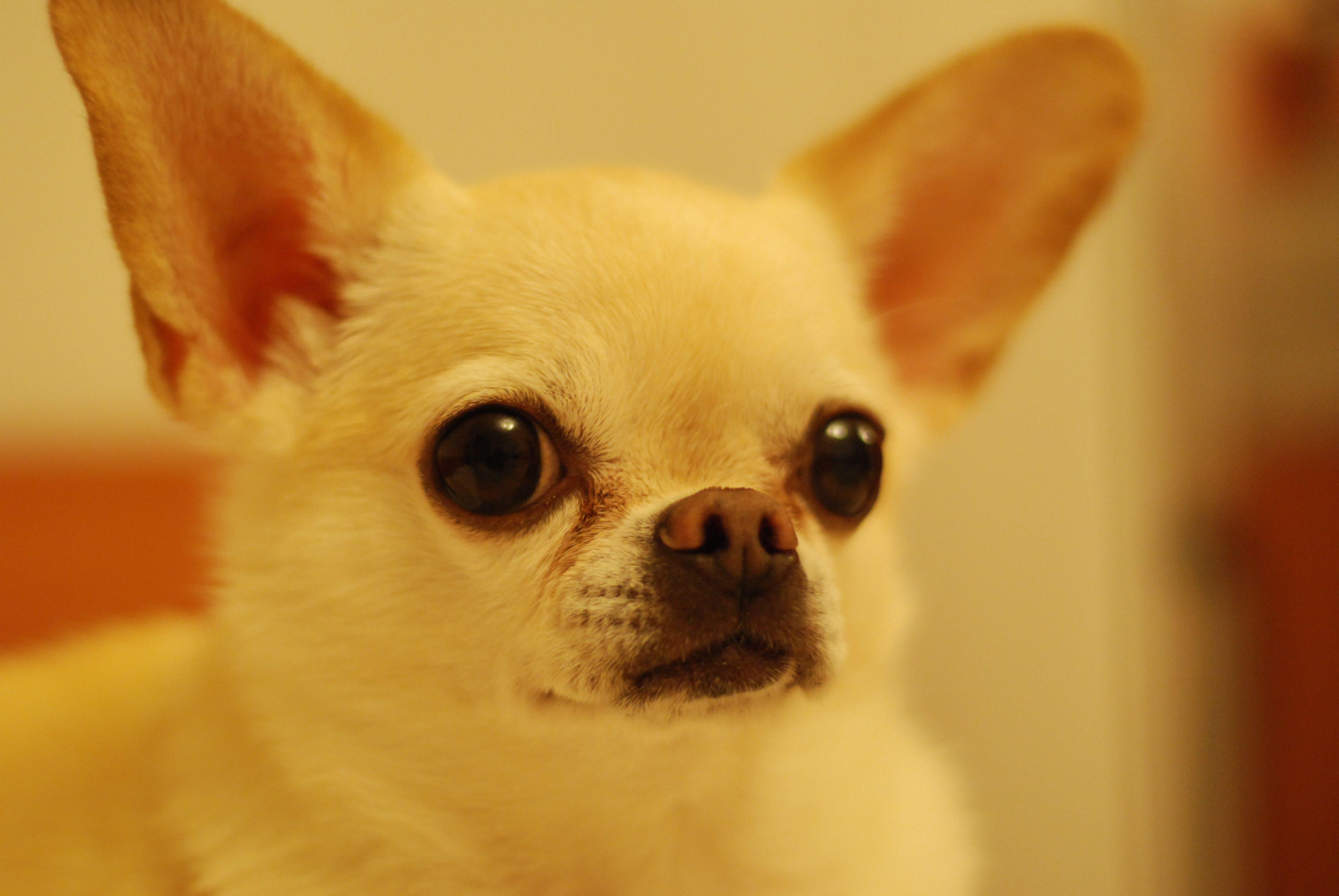 chihuahua, close-up, dyr
