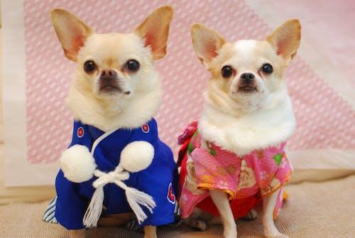 Fotos de stock gratuitas de chihuahua, Japón, kimono, perro