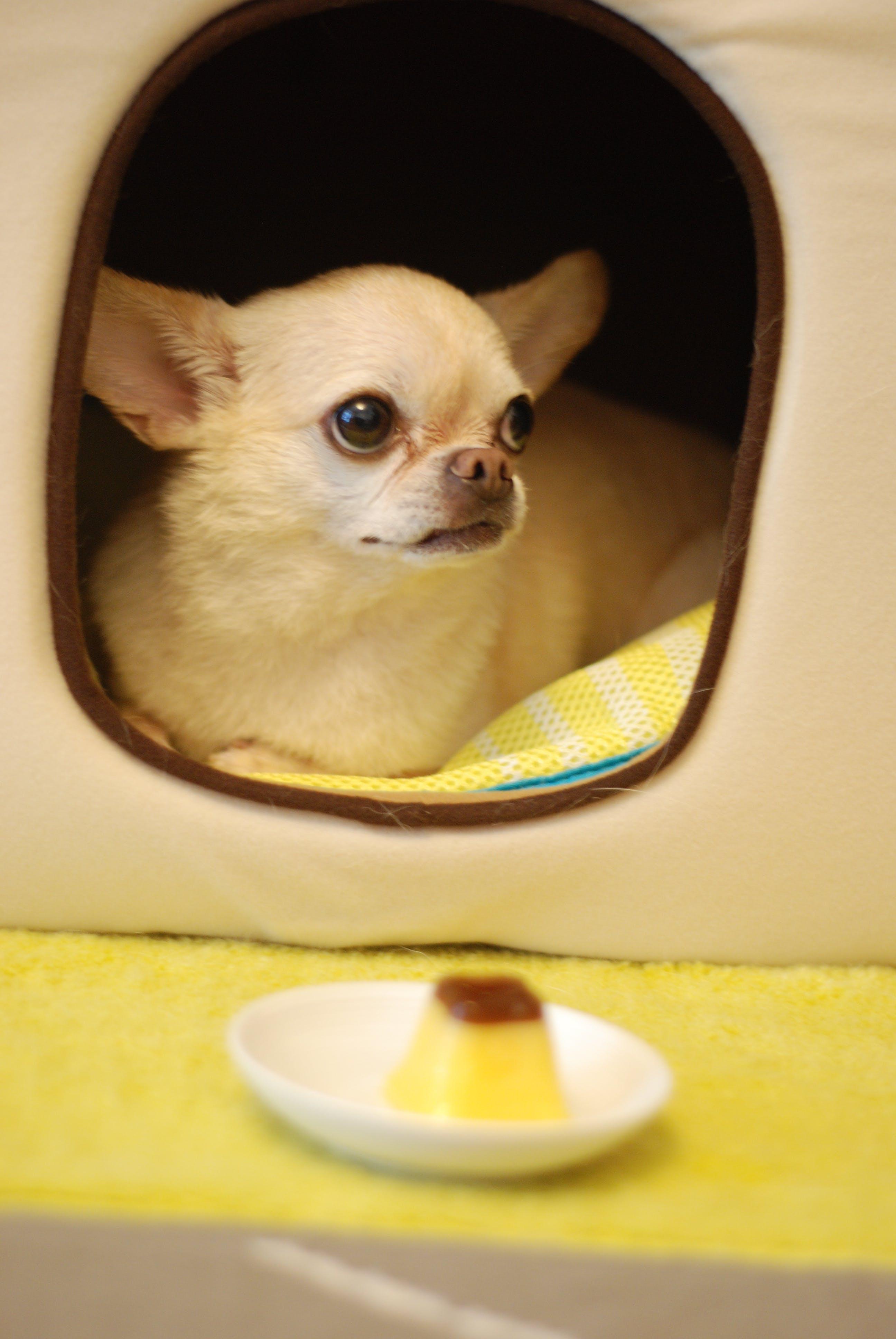 Základová fotografie zdarma na téma čivava, domácí mazlíček, pes, psí