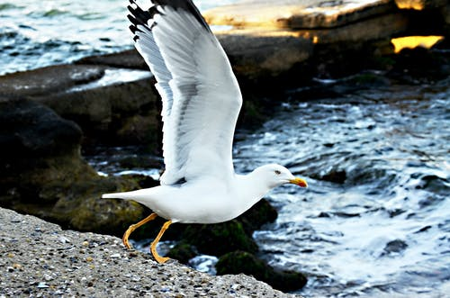 Free stock photo of animal, Martı, seagull, wings