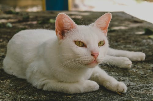 Free stock photo of cat, white cat