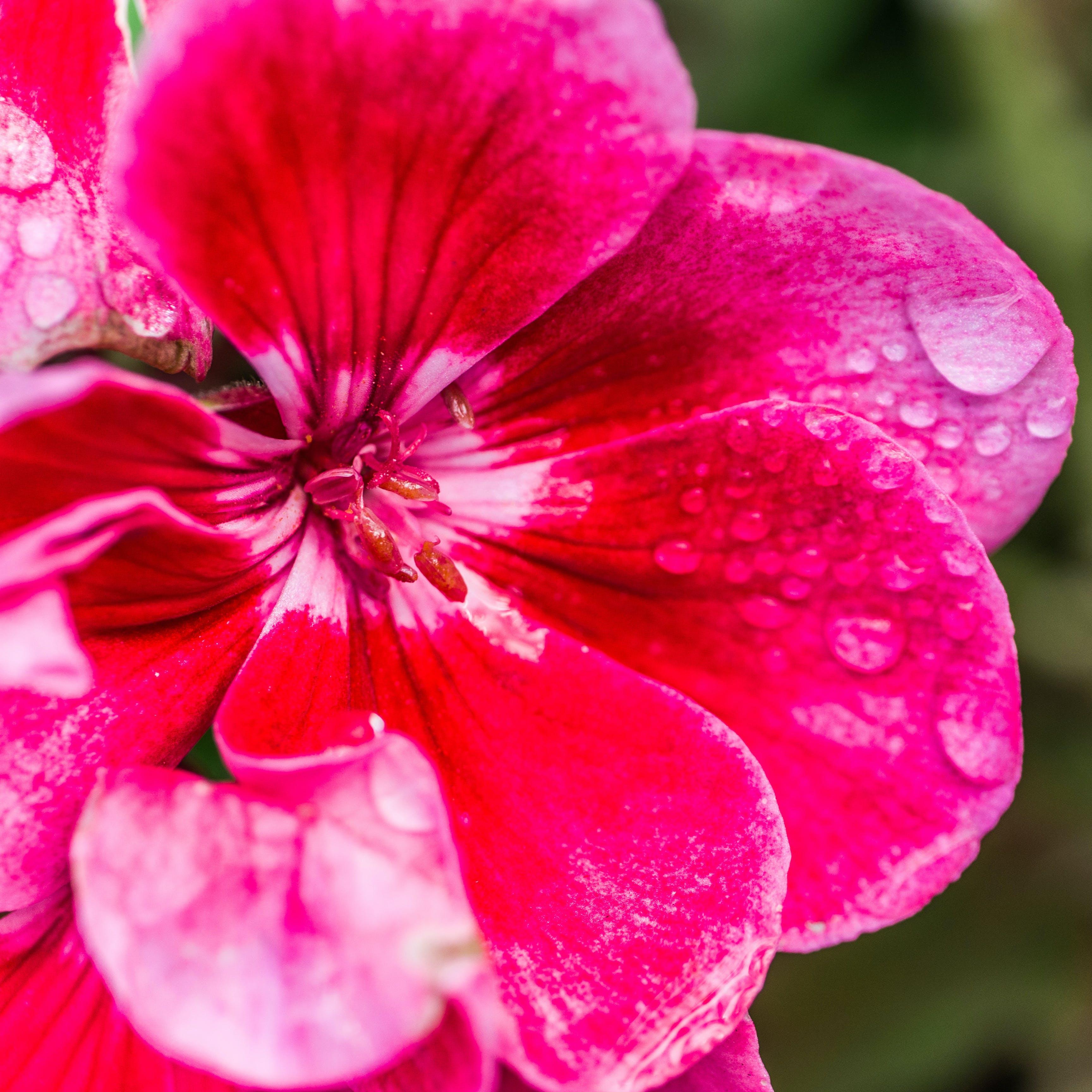 Kostenloses Stock Foto zu blume, hübsch, nahansicht, regentropfen