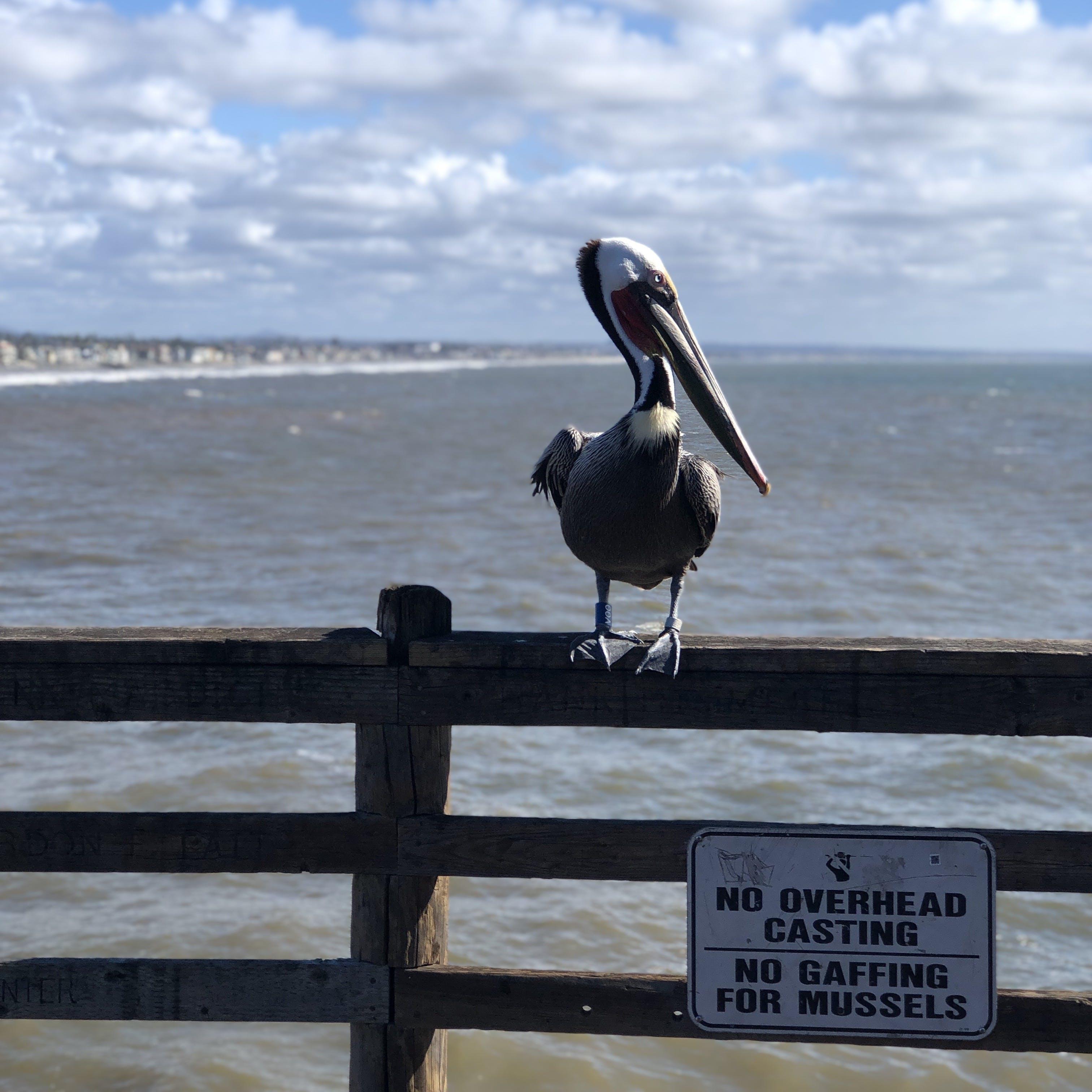 Free stock photo of beach, oceanside, pelican, pier