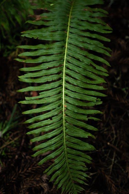 Foto d'estoc gratuïta de falguera, fulla, planta, verd