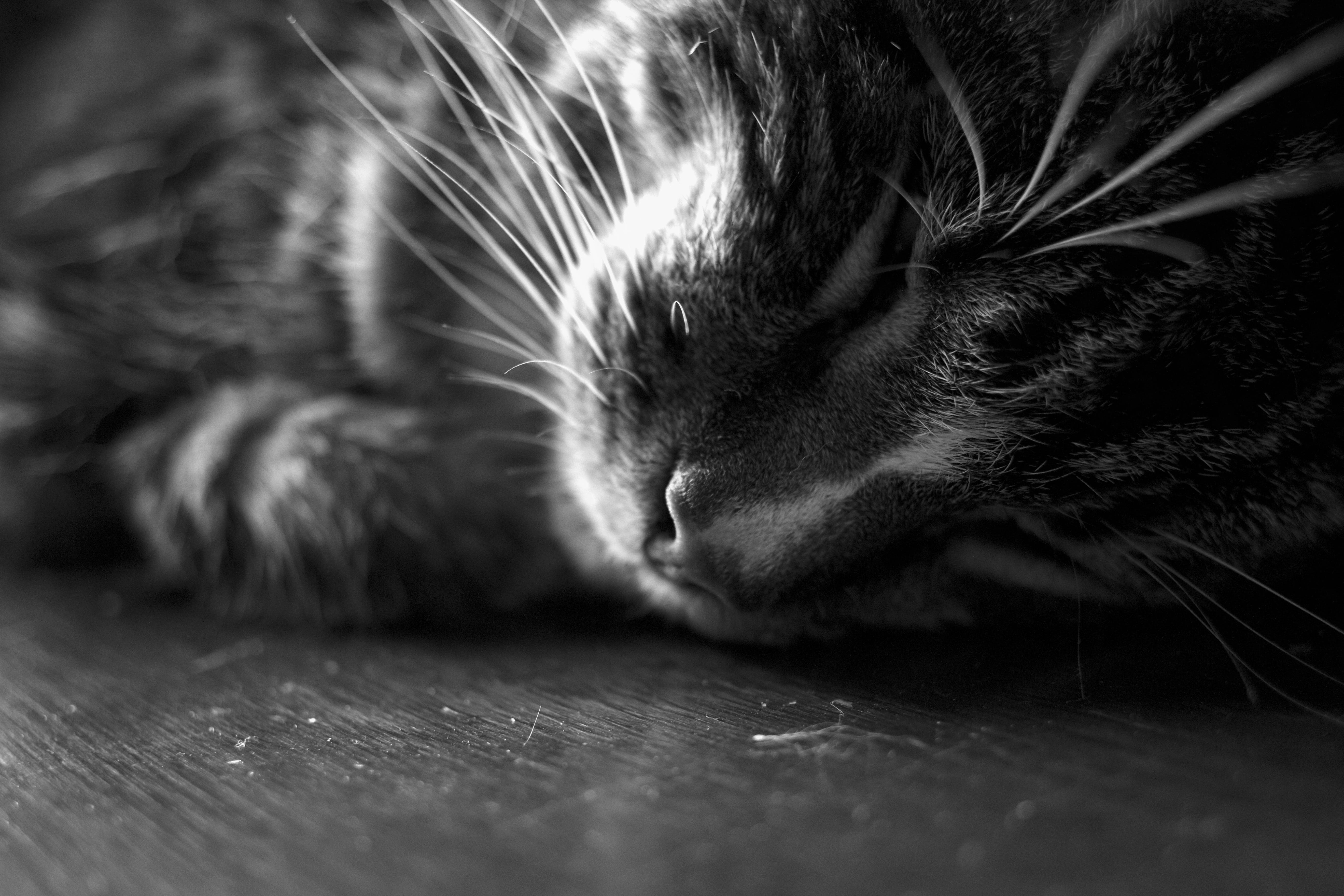 Free stock photo of animal, close up, black and white, peaceful