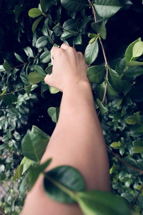 Gratis lagerfoto af arm, blade, Botanisk, efeu