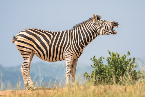 White and Black Zebra Standing on Ground