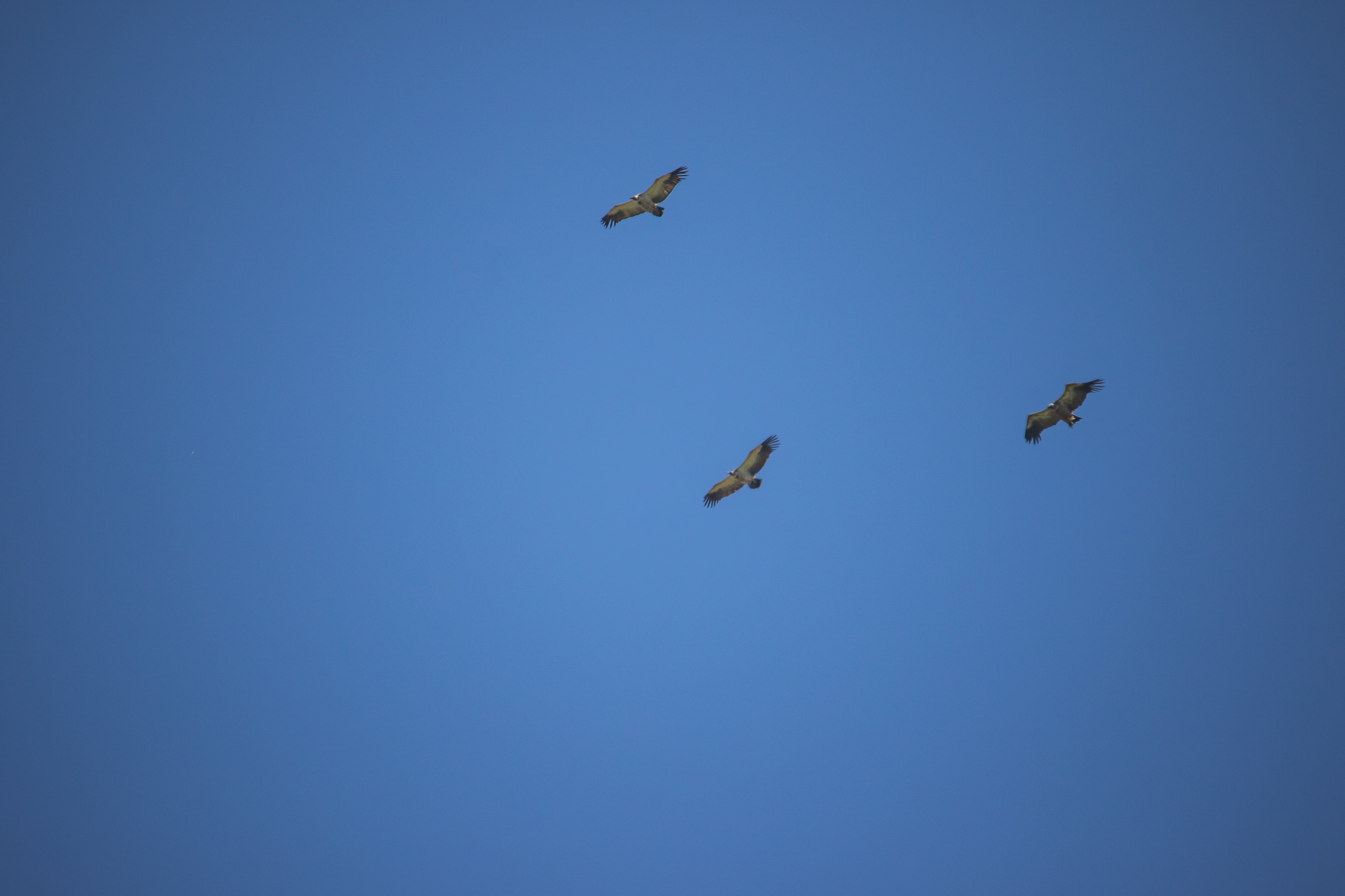 Free stock photo of birds, blue sky, fly, mothernature