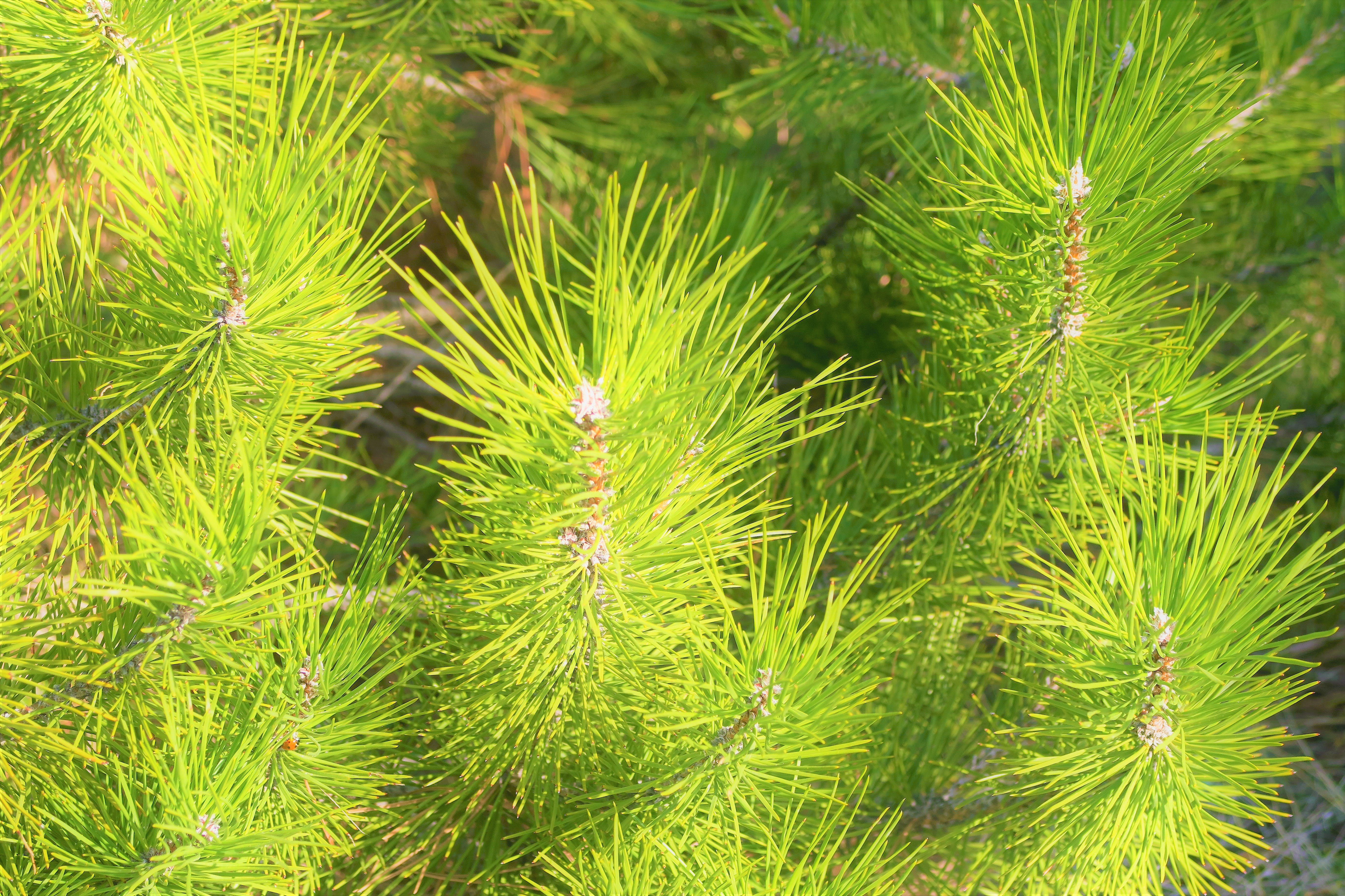 Free stock photo of nature, pine, plant, spring