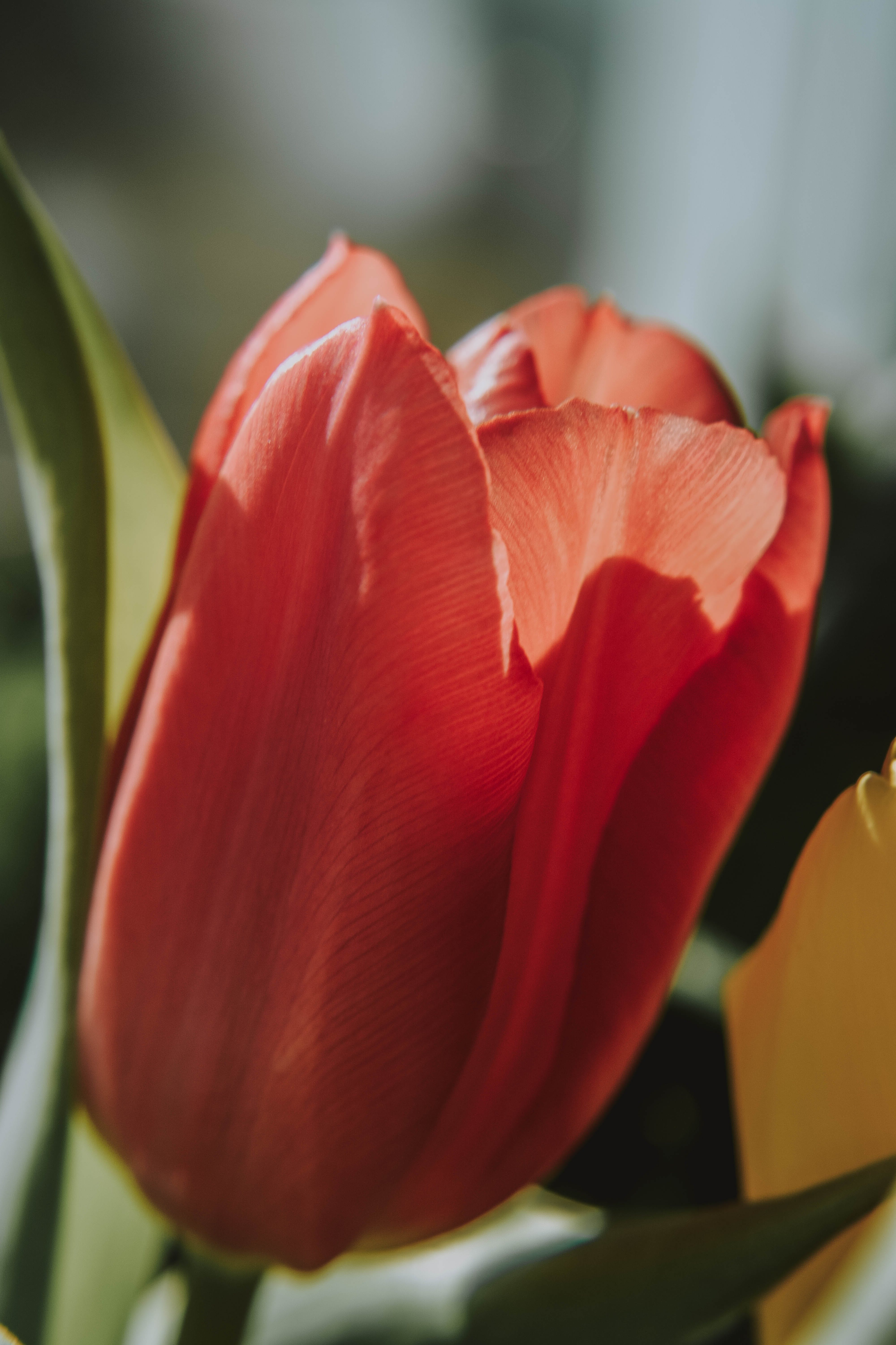 Free stock photo of flower, nature, red, spring